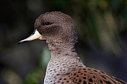 Brown Teal
