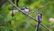 Juvenile Long tailed tits