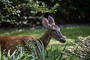 Florida White Tail Deer in garden