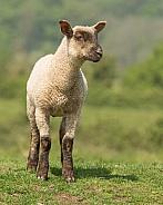 Posing Lamb