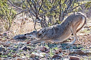 Downward-Facing Dog - Coyote