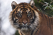 Sumatran Tiger Face Shot