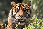 Sumatran Tiger Close Up Face Long Grass Teeth Showing