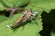 robberfly (asilidae) killing a damselfly