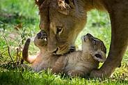 Lion cub with Mum