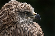 Black Kite Side Profile