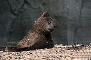 Kamtschatka Bear