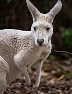 Albino Kangaroo 5