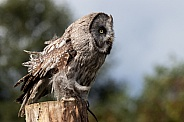 Great Grey Owl Full Body Side On Ready To Fly