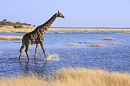 Giraffe - Flooded Salt Pan - Namibia