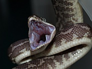Rough Scaled Python