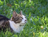 Domestic Tabby Tuxedo Cat Lying in Grass