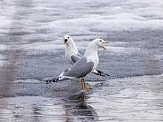 Common gull, mew gull, or sea mew pair