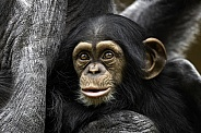 Baby Chimpanzee Close Up