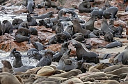 Cape Fur Seals - Cape Cross - Namibia
