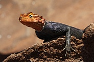 Red-headed Rock Agama - Namibia