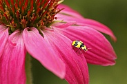 Fungus eating ladybird on Echinacea