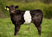 Young Belted Galloway