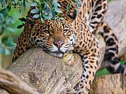 Jaguar on Log