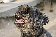 Shoodle dog