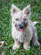 Domestic Dog Cairn Terrier puppy