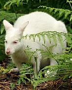 Albino wallaby