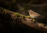 Dunnock (Hedge Sparrow)