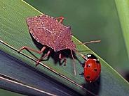 Heteroptera