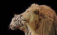 White Bengal Tiger and White South African Lion