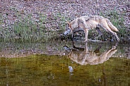 Tundra Wolf Reflection
