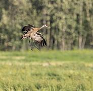 Lesser Sandhill Crane Flying in Alaska