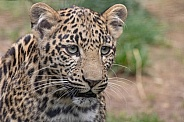 Young African Leopard