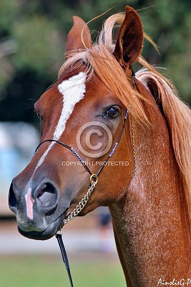 Chestnut Arabian Mare