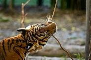 Malayan Tiger Cub