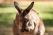 Kangaroo licking paws
