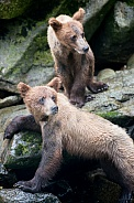 Wild Grizzly bear cubs