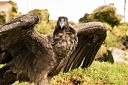 Female Andean Condor From Right