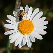 Hover fly (helophilus fasciatus)
