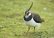 Northern Lapwing / Peewit /  Green Plover