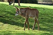 Roan antelope calf