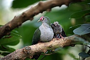 Beautiful fruit dove (Ptilinopus pulchellus