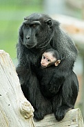 Crested Macaque family