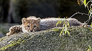 Cheetah Cub Resting on Rock