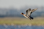 The Eurasian wigeon, a duck with beautiful coloured feathers.