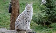 white Lynx