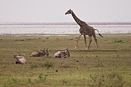 Giraffe with Wildebeest