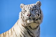 White Amur Tiger