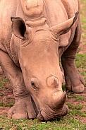 Young White Rhino Portrait Shot