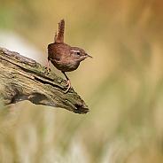 European Wren