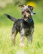 Young Terrier Cross